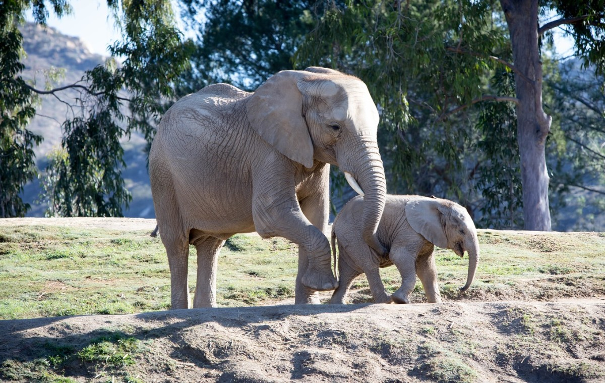 African bush elephants at San Diego Safari Park