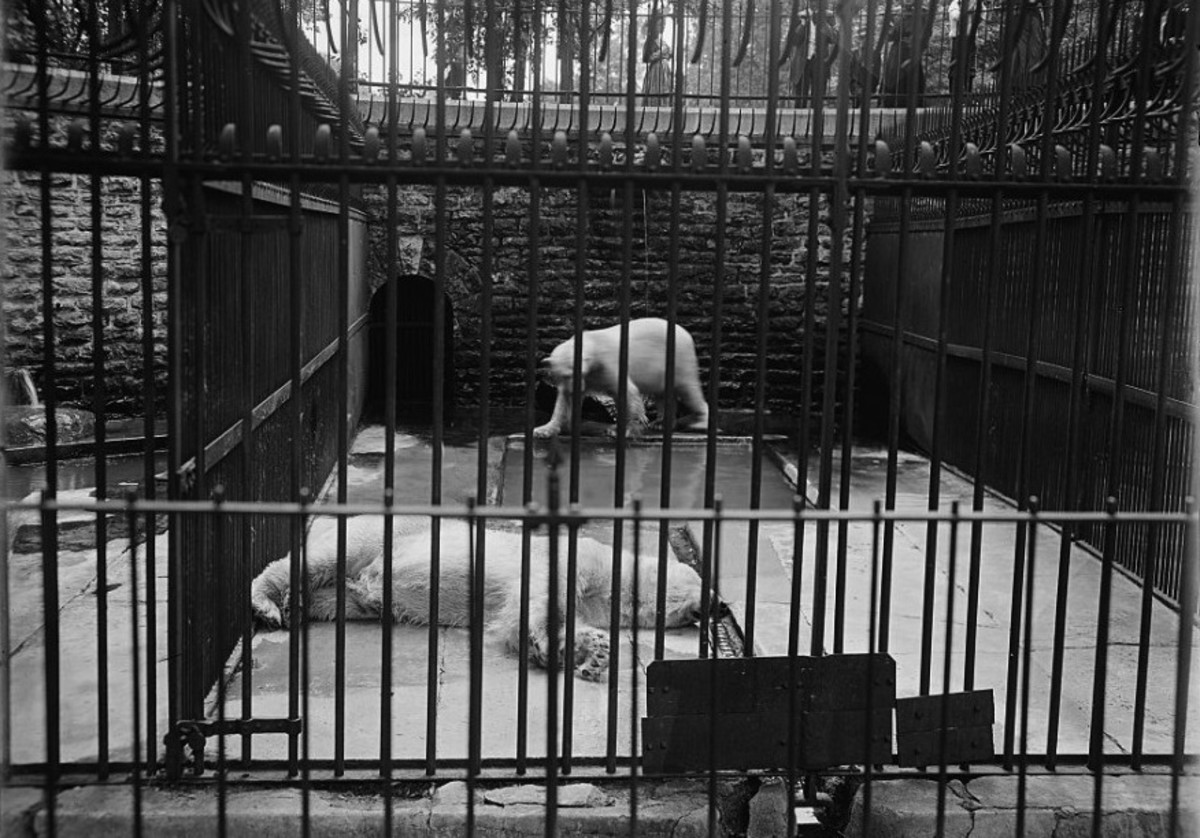 Turn of the 20th century, polar bears at Belle Island Zoo.