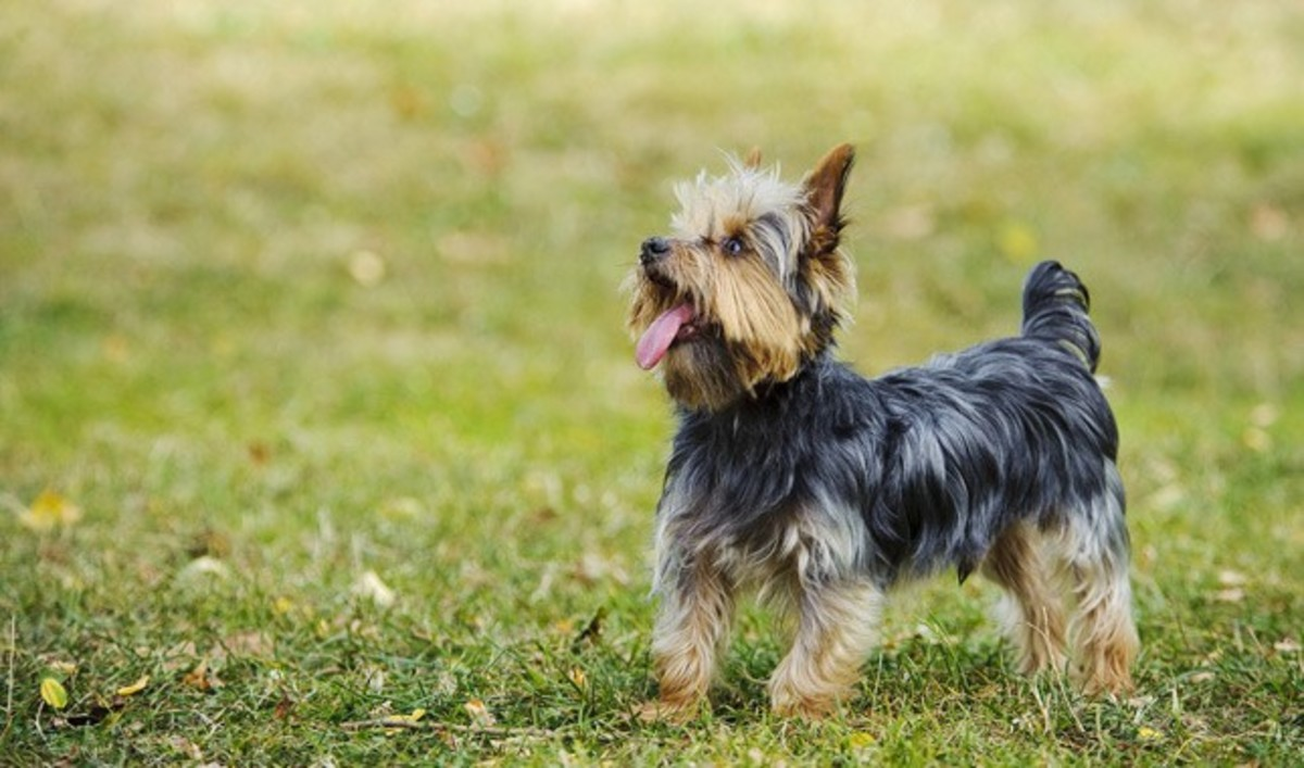 top-five-dog-breeds-for-the-lazy-owners