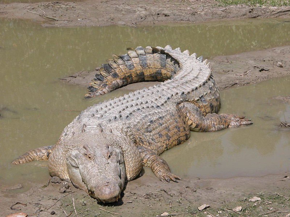 battle-for-the-island-of-ramree-in-burma-and-the-salt-water-crocodiles