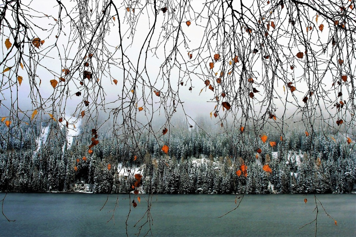 Birch Twigs, Image by pasja1000 from Pixabay