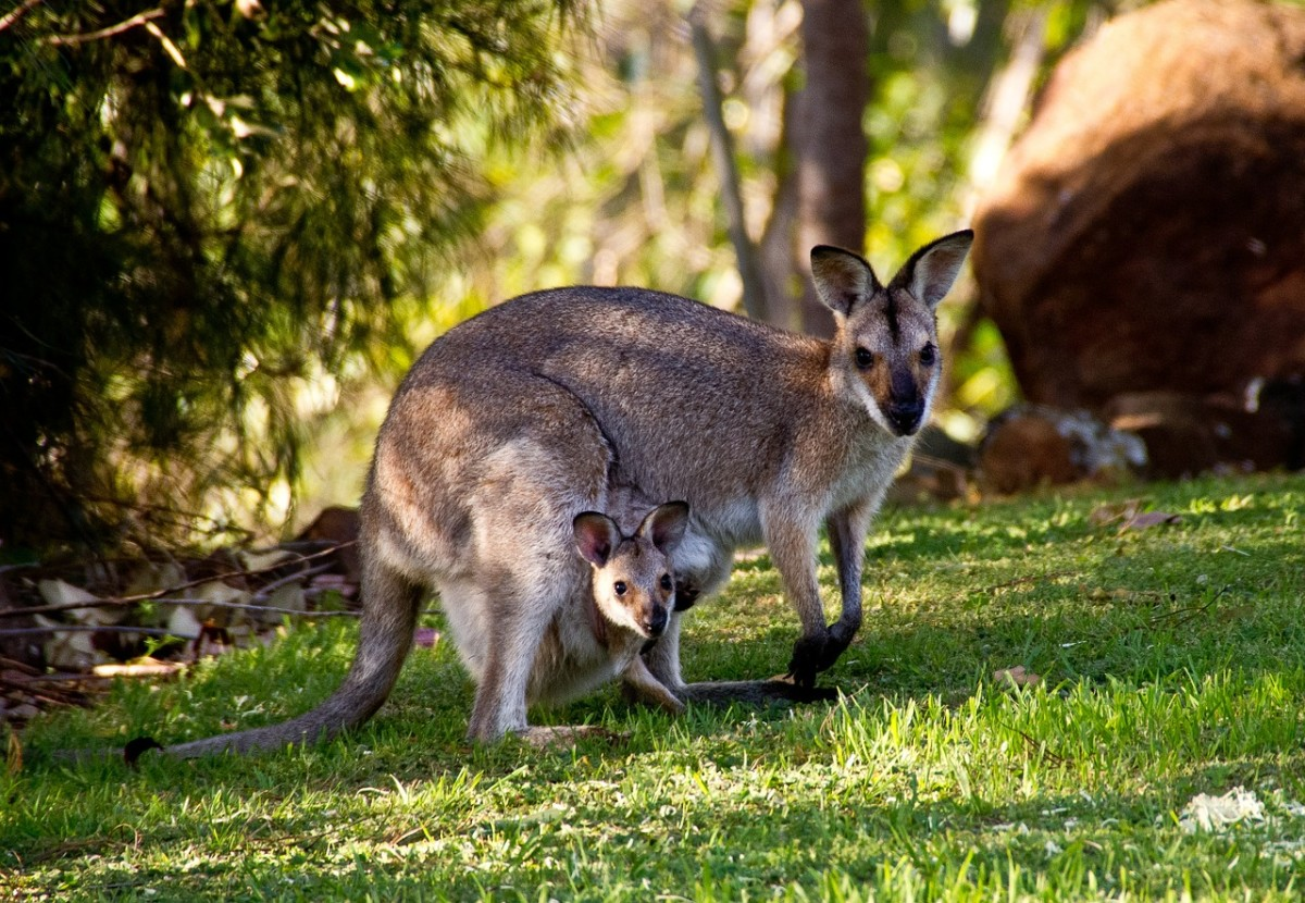 Wallabies, small members of the kangaroo family. Image by sandid from Pixabay
