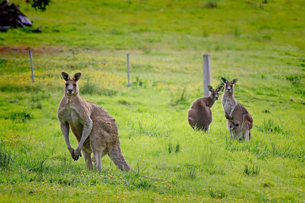 Macropus Giganteus (a big buck and two does) Image by Holger Detje from Pixabay