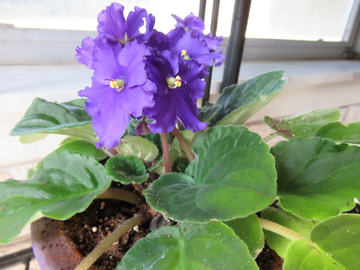 My African violet in bloom