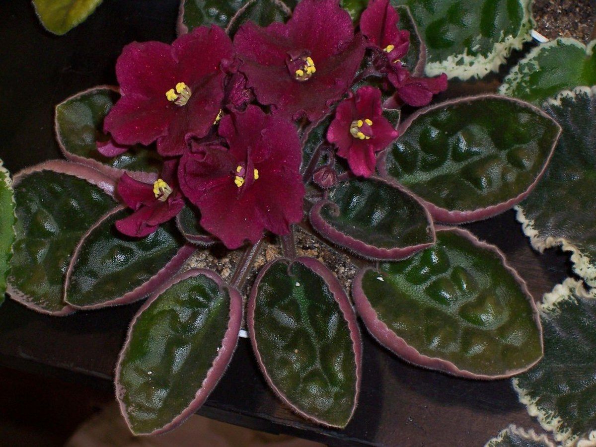 There are so many variations and colors of African violets