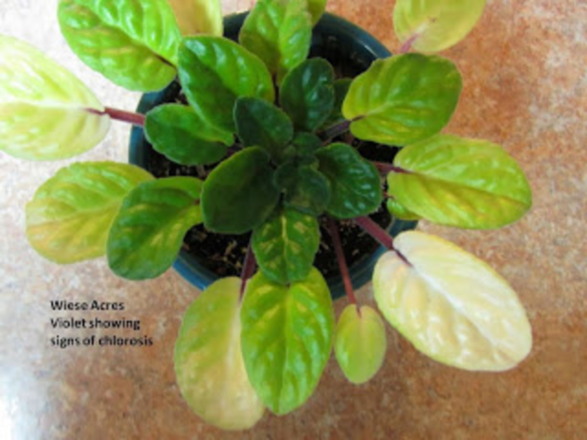 Another problem for African violets. Find out why your plant may have this problemW