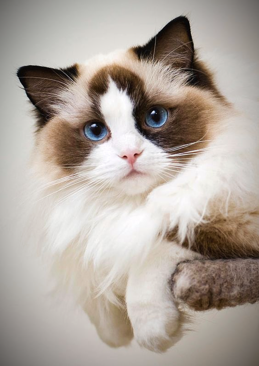 the-legend-of-the-ragdoll-cat-breed