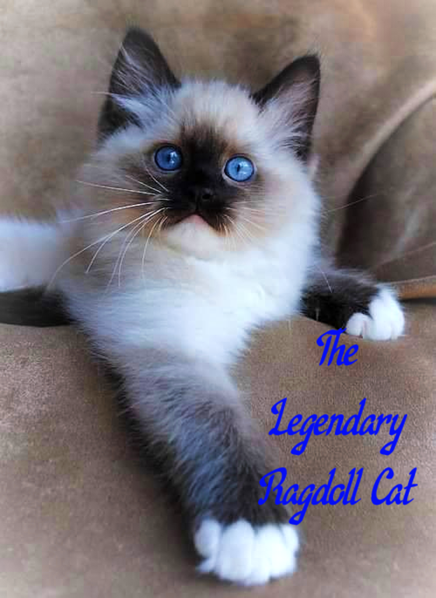 The Legendary Ragdoll Cat
