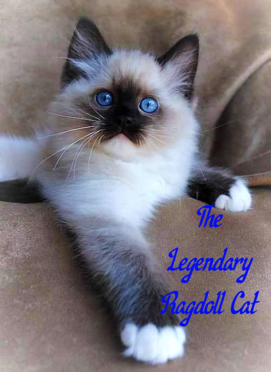 Ragdoll kitten looking so lovely!