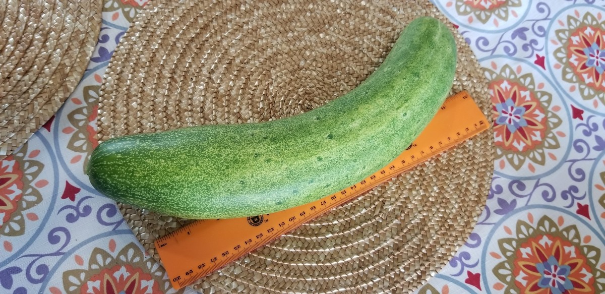 Huge cucumber harvested from my garden.