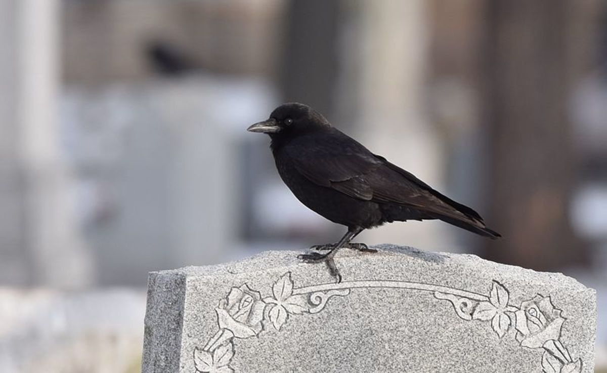 No doubt crows are hitched to humanity, from the cradle to the grave