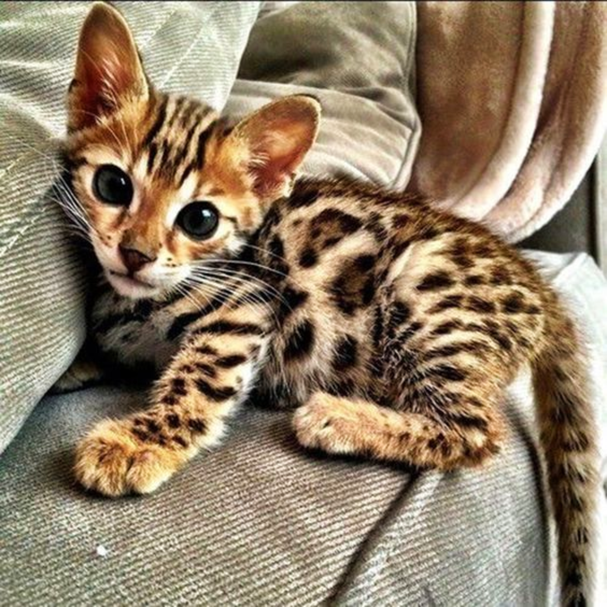 The Legendary Bengal Cats