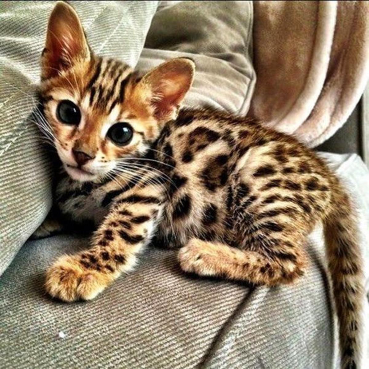 Baby Bengal Kitten