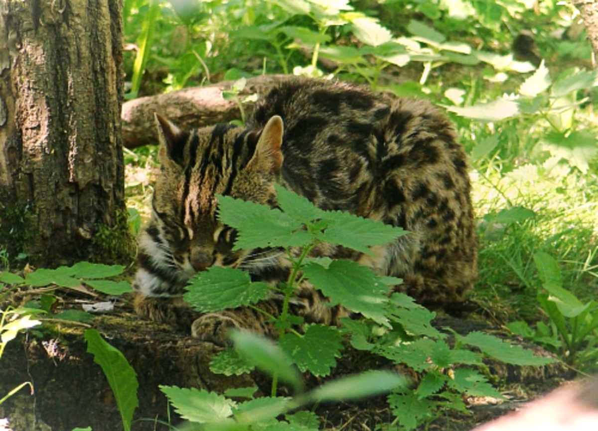 Indian Leopard Cat (P. b. bengalensis)