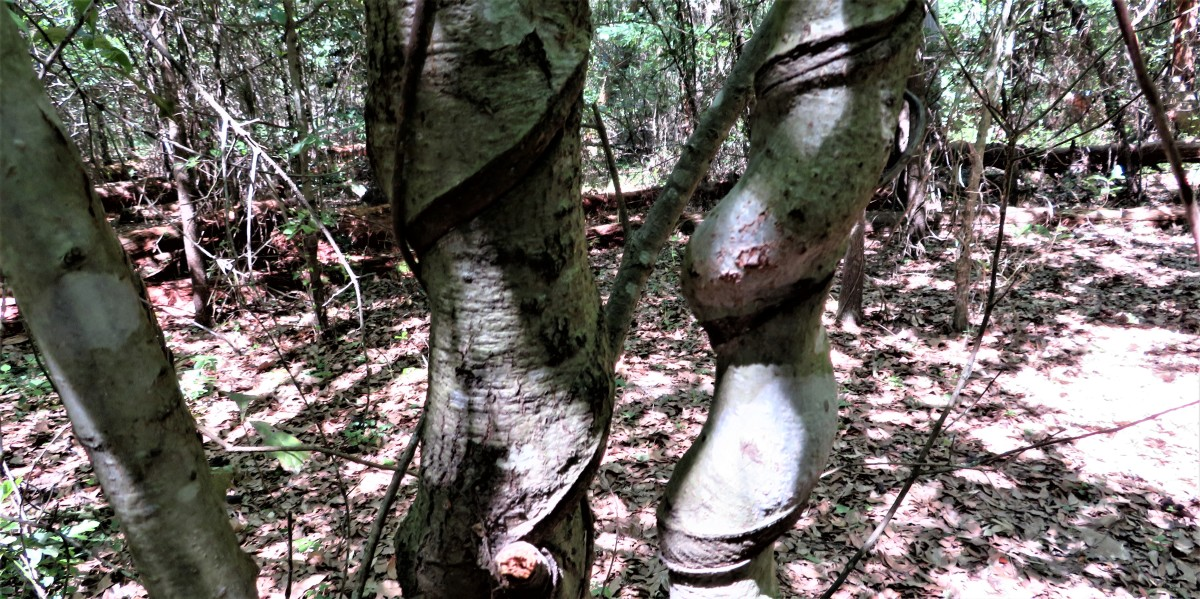 Vines constricted the bark as the trees grew.