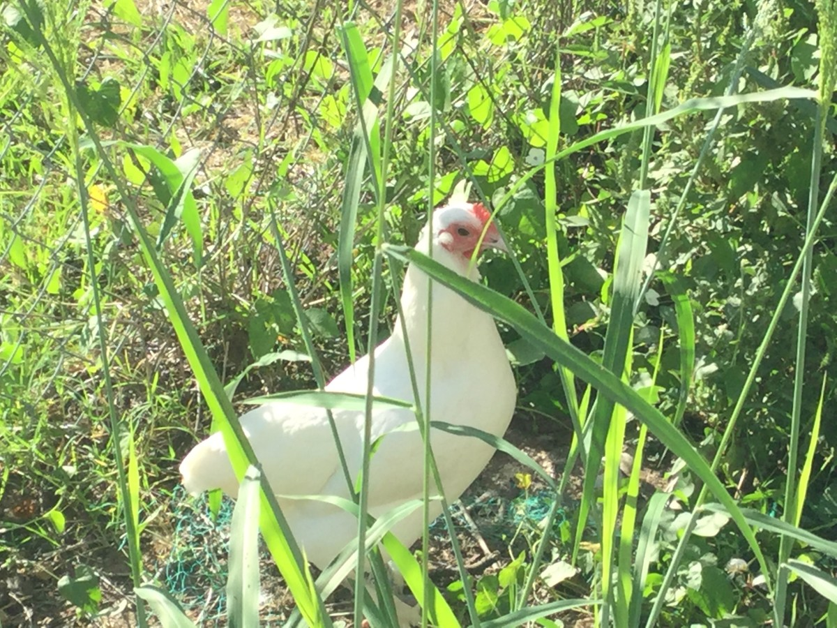 One of our hens