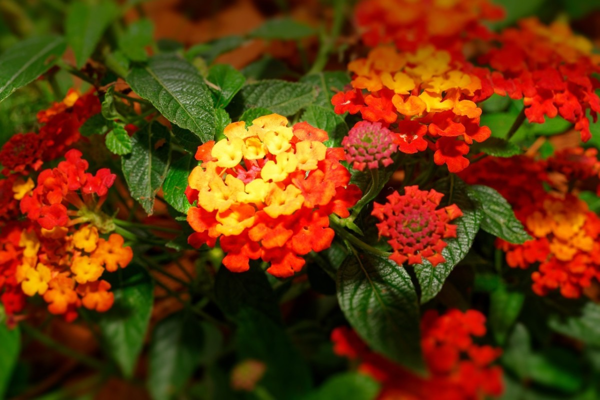 Lantana: Image by Paul Diaconu from Pixabay