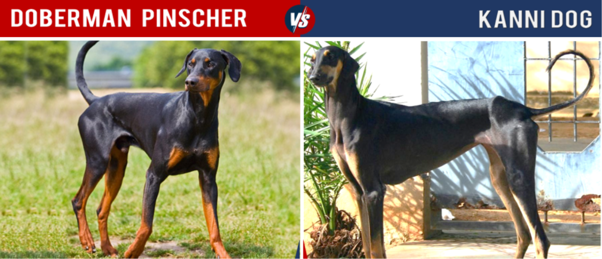Doberman vs Kanni Dog,
