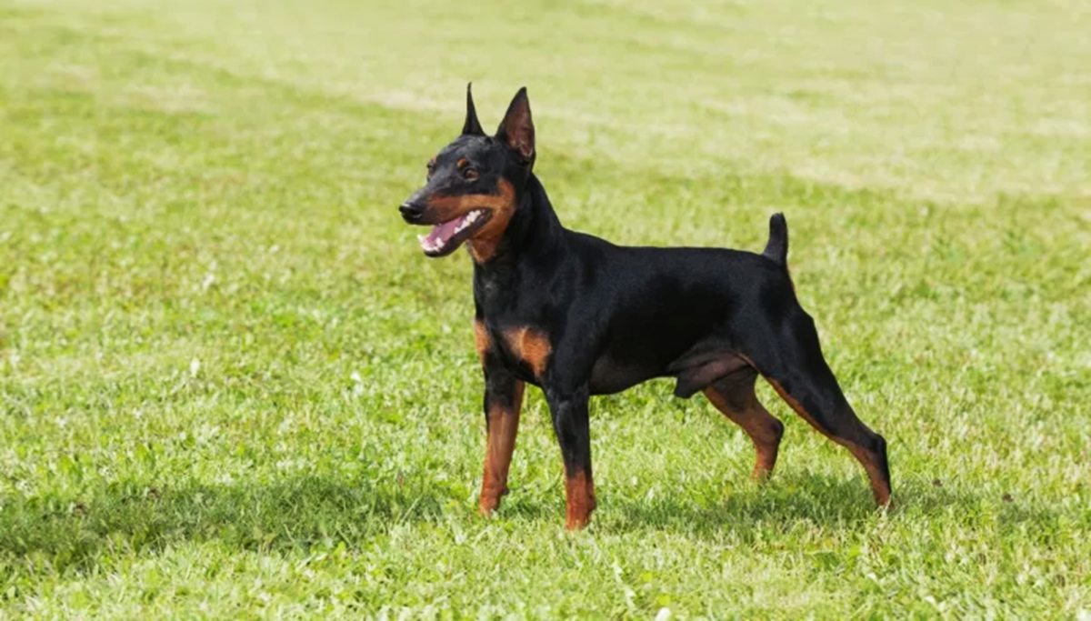 English Toy Terrier or Toy Manchester Terrier