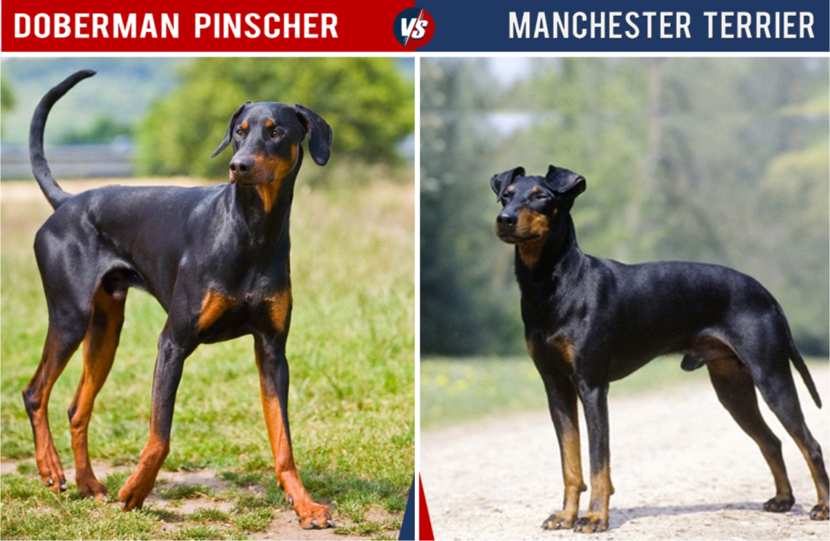 Doberman vs Manchester Terrier