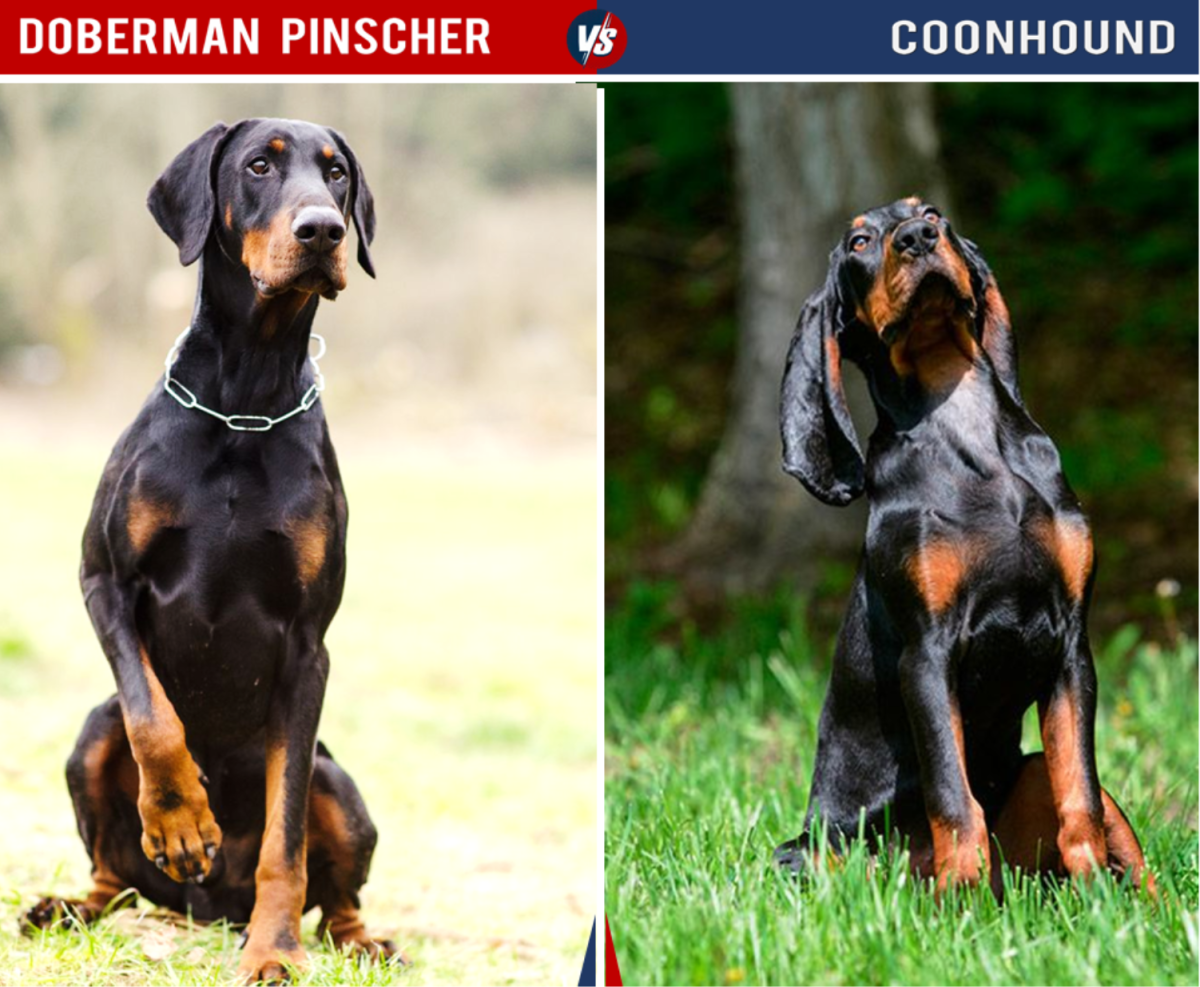 Doberman Vs Coonhound