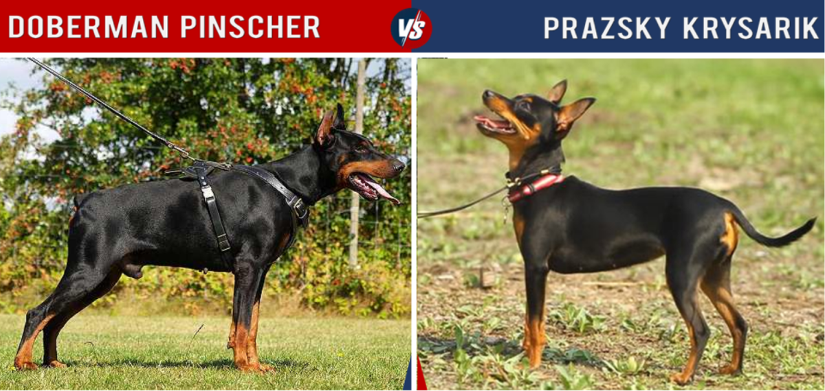 The Prague Ratter is tiny compared to the Doberman, though it has a longer life span.