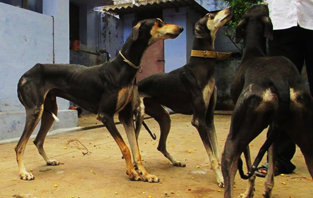 Kanni Dogs