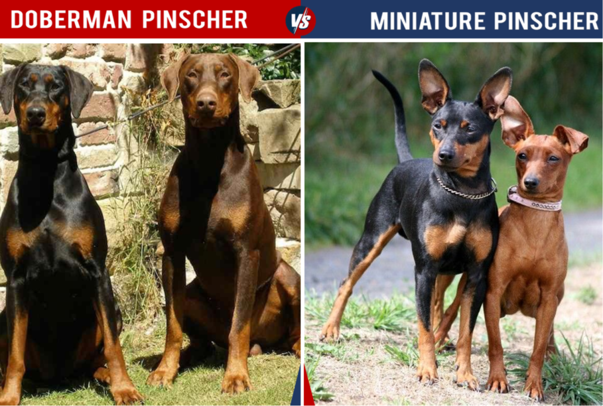 Doberman Vs Miniature Pinscher