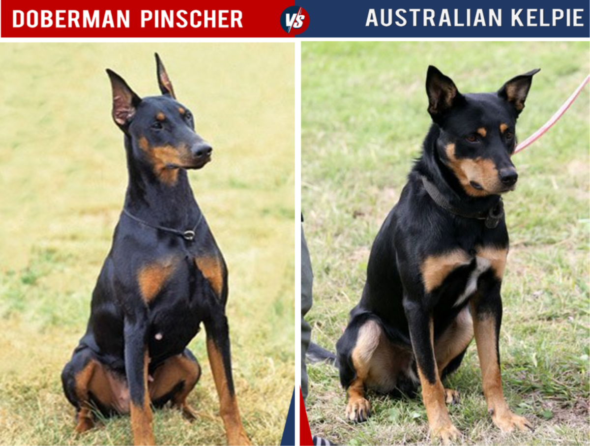 The Kelpie is smaller than the Doberman and has a stockier shape.