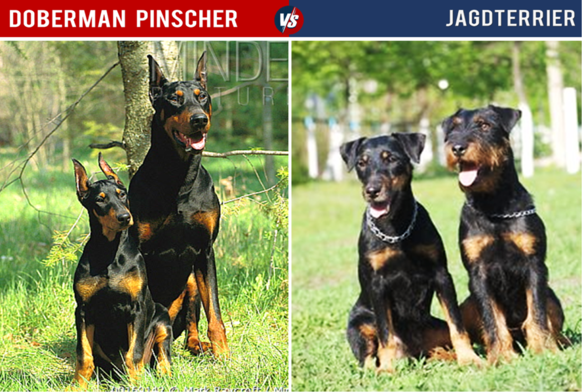 Despite their similar coloration, the Jagdterrier is quite a bit smaller than the Doberman.
