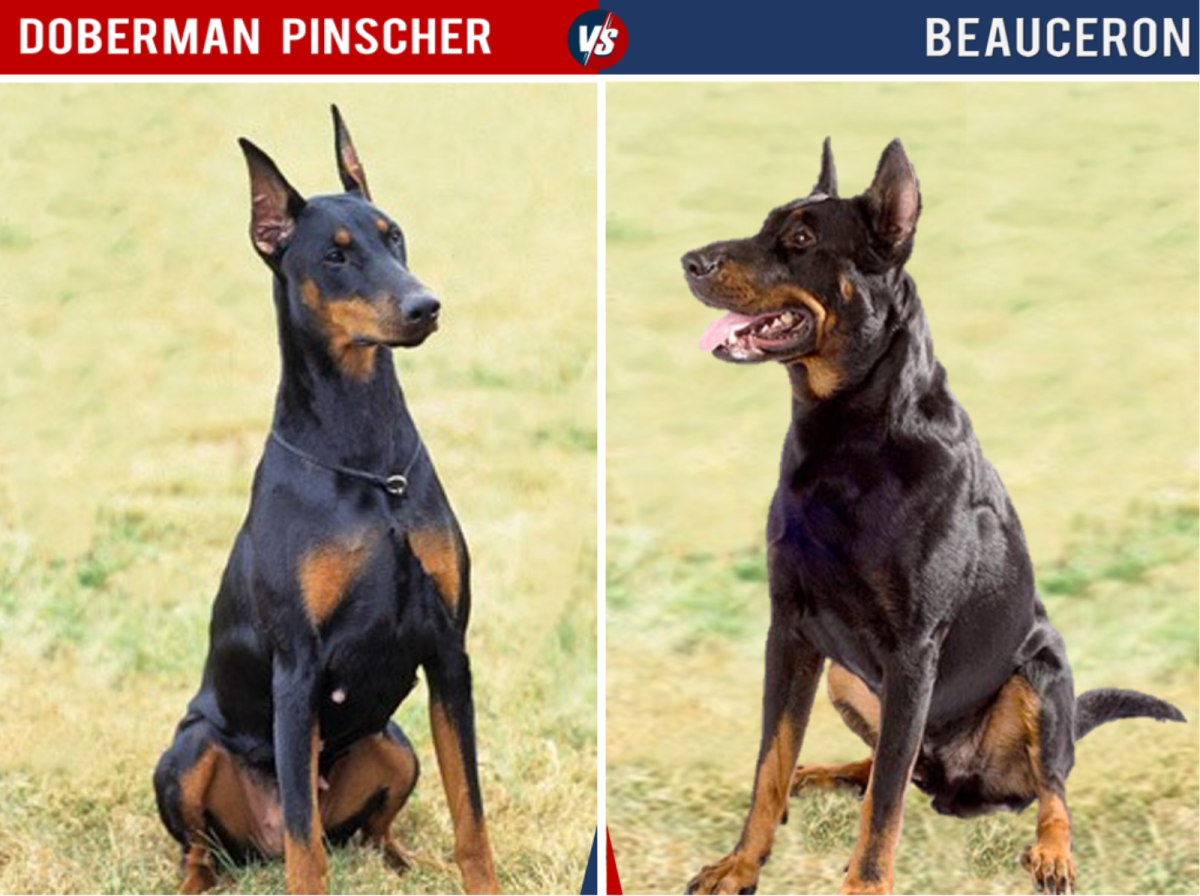 The Beauceron is extremely similar to the Doberman in all of its physical characteristics, since it's one of the breeds used to create the Doberman.
