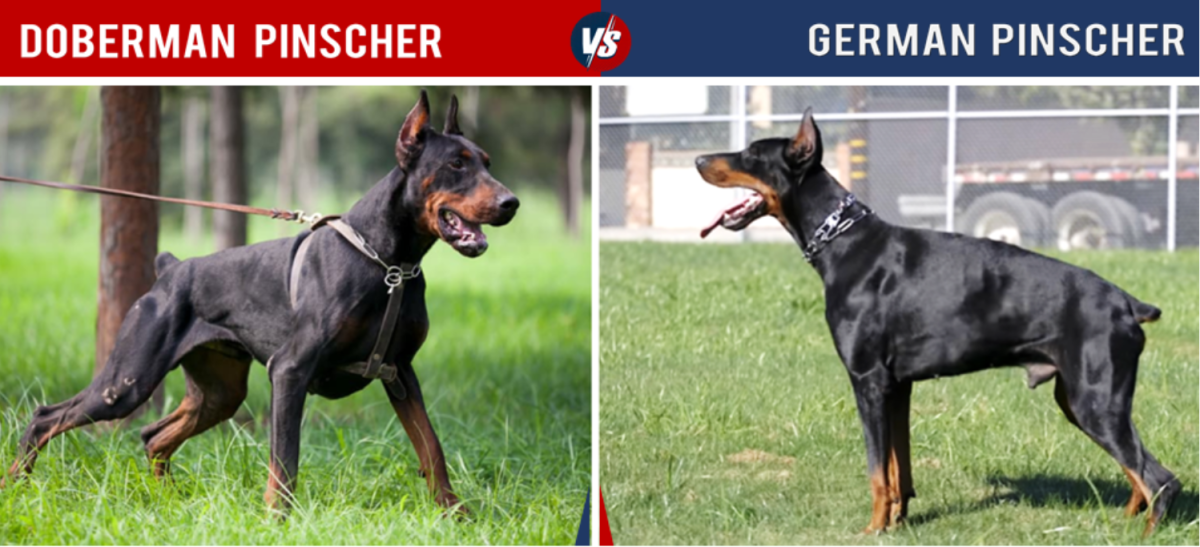 The German Pinscher is like a small, stocky Doberman.