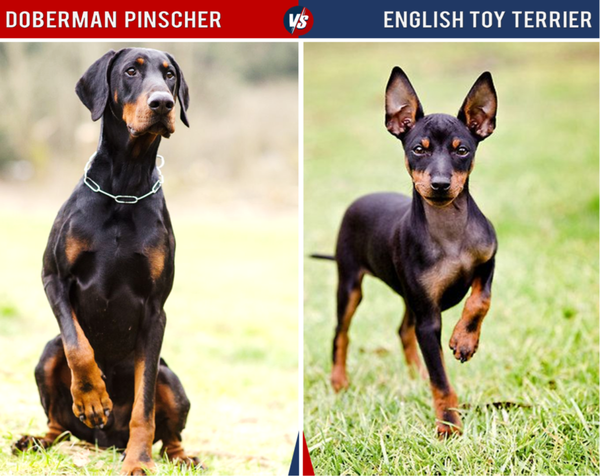 """The English Toy Terrier is quite a bit smaller than the Doberman, as the """"toy"""" in its name indicates."""