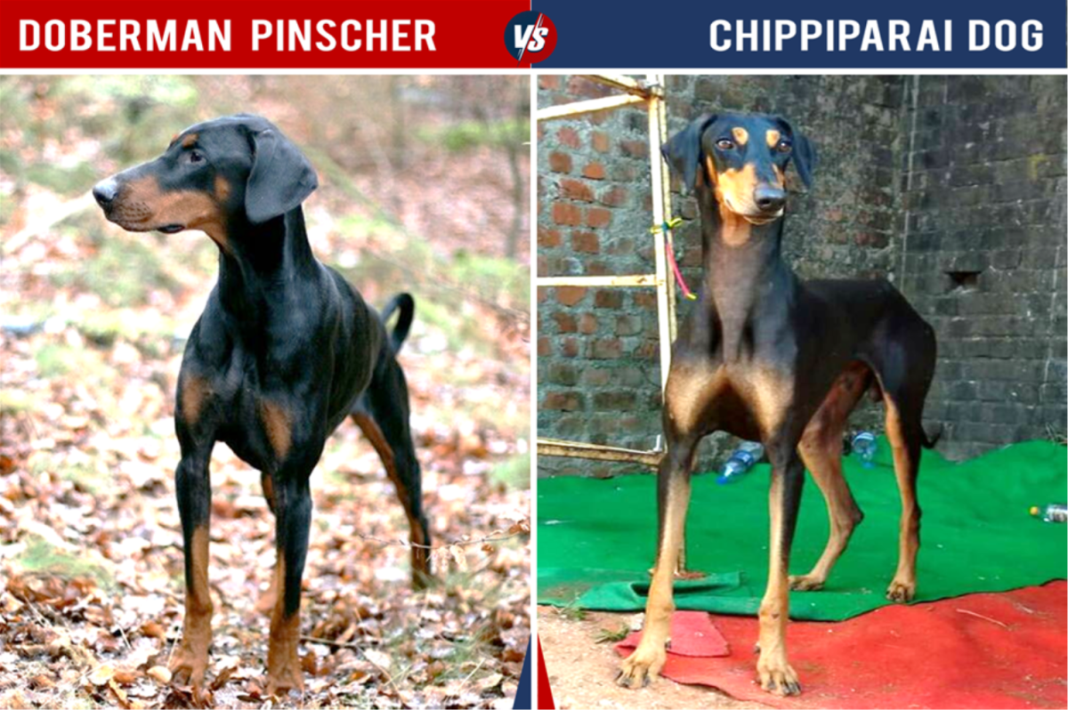 Doberman Vs Chippiparai Dog