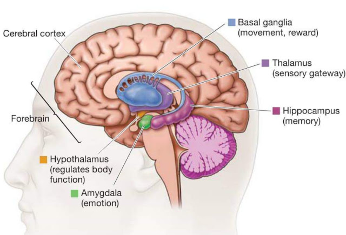 The Basal Ganglia - where habits live