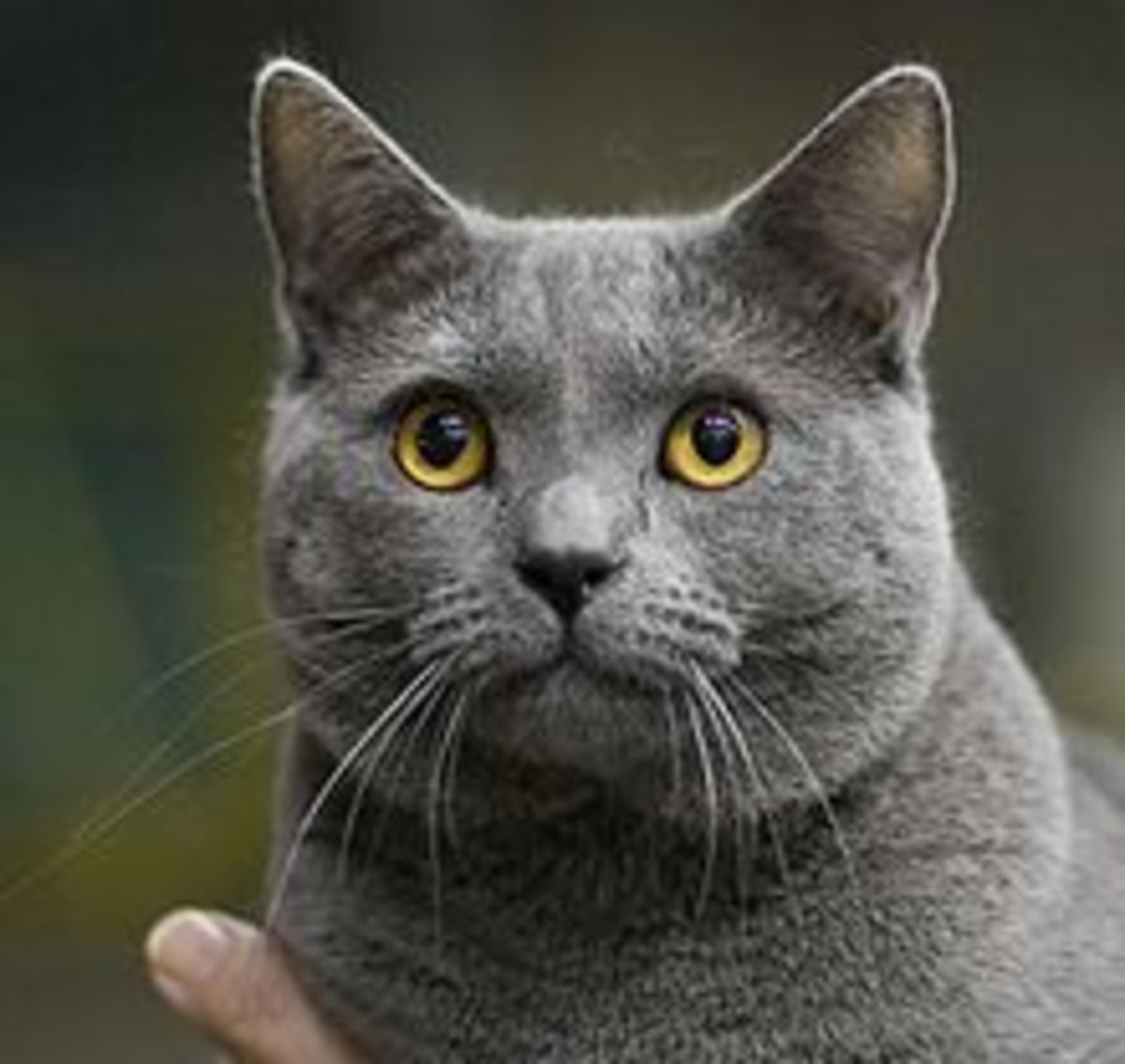 most-sought-after-cat-breeds