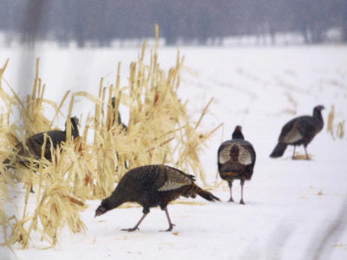 A Flock of Wild Turkey Pick Over a Corn Field in Williston, Vermont