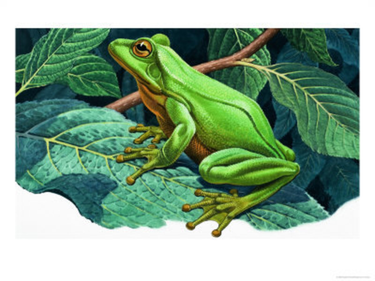 Great Green Tree Frog