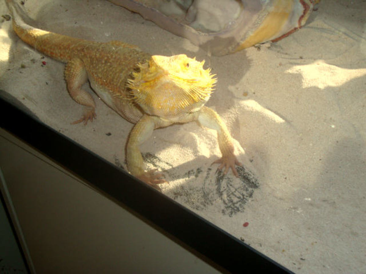 What I've Learned From My Bearded Dragon