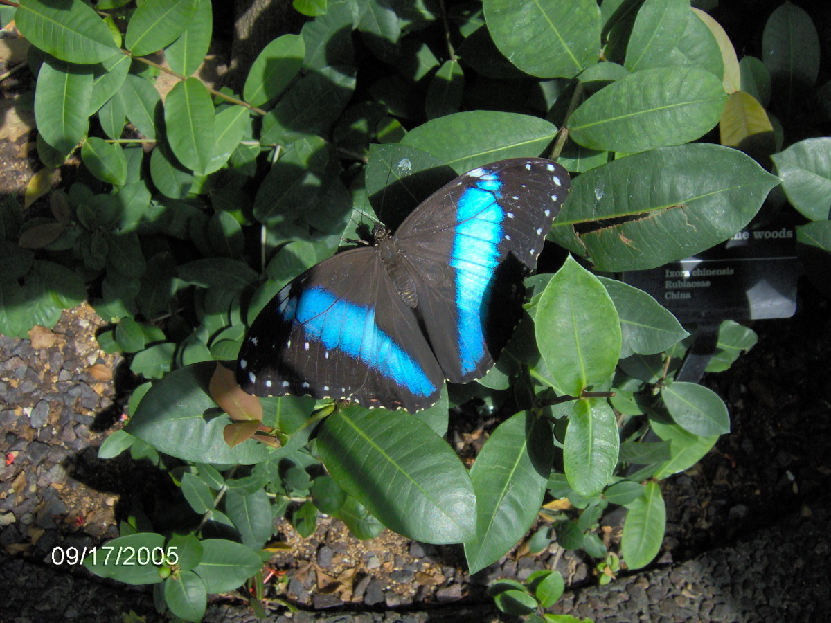 Common Blue Morpho, or Blue Morpho : Morpho menelaus, from Costa Rica