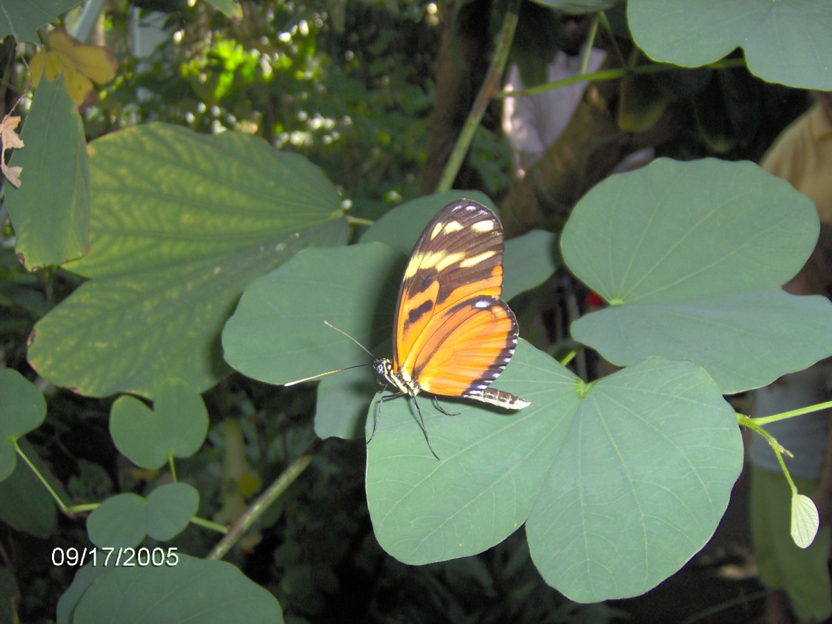 Isabella Butterfly:  Euides isabella, from Mexico through Brazil