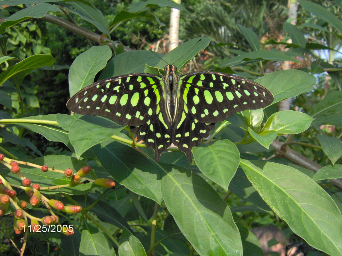 Green Jay:  Graphium agamemnon, from the Philippines