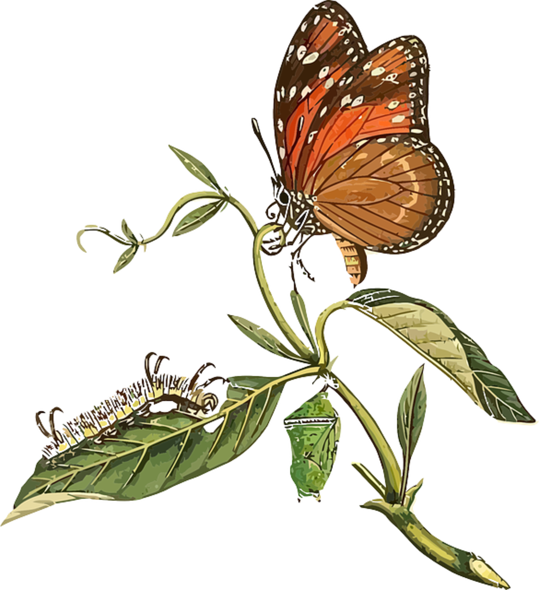 Life Cycle: From Caterpillar and Chrysalis to Butterfly