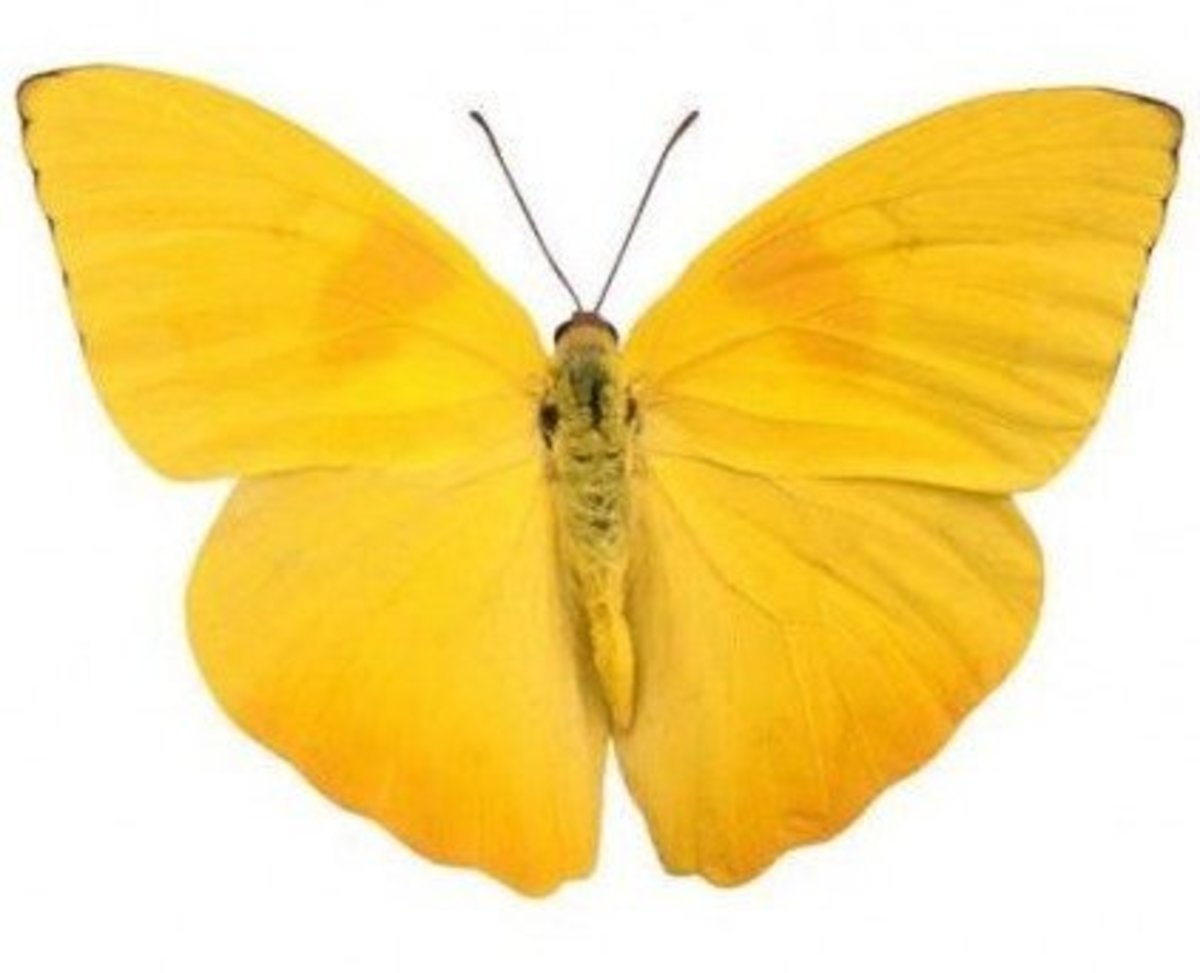 Cute Yellow Butterfly