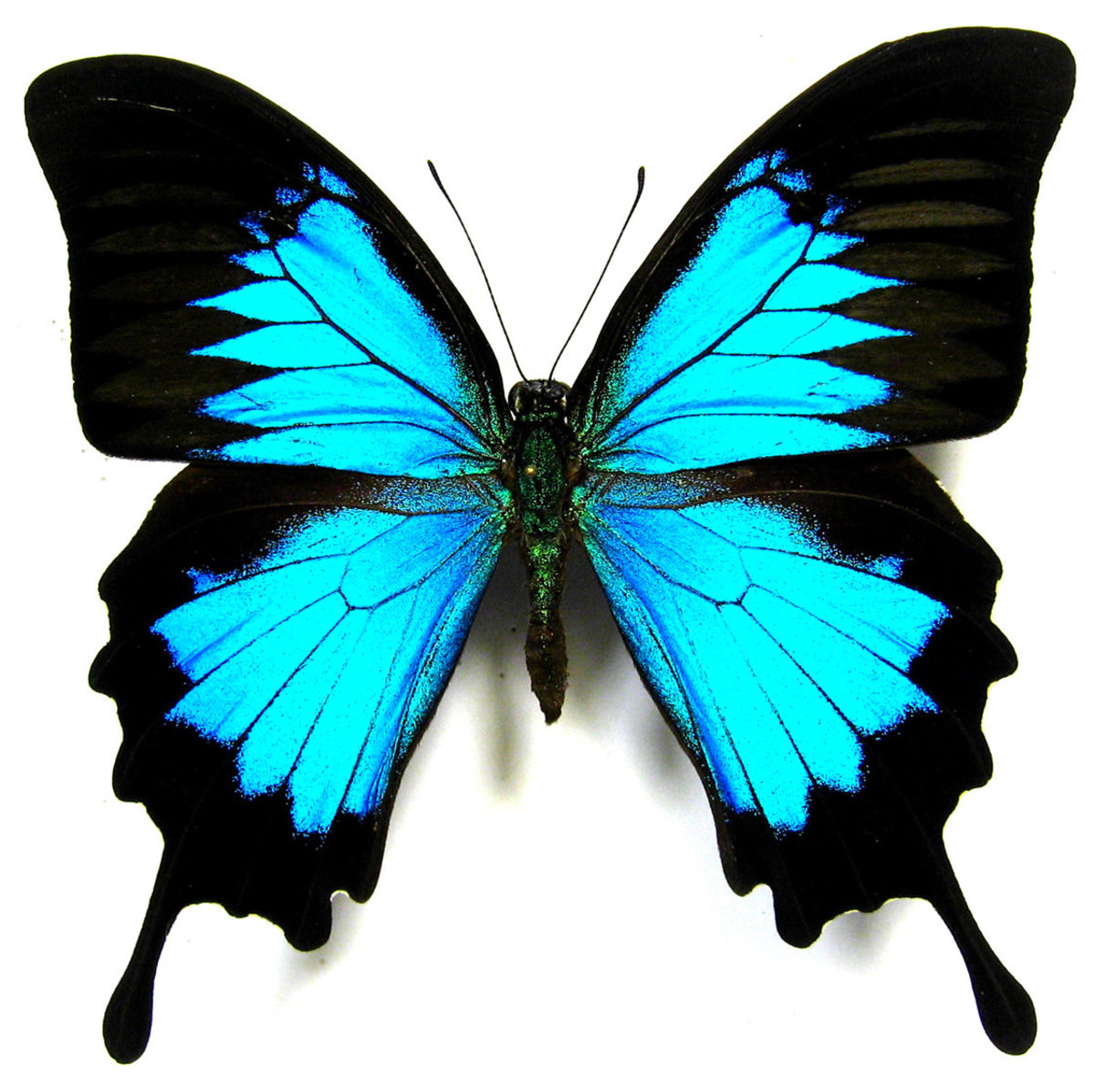 Blue Iridescent Butterfly