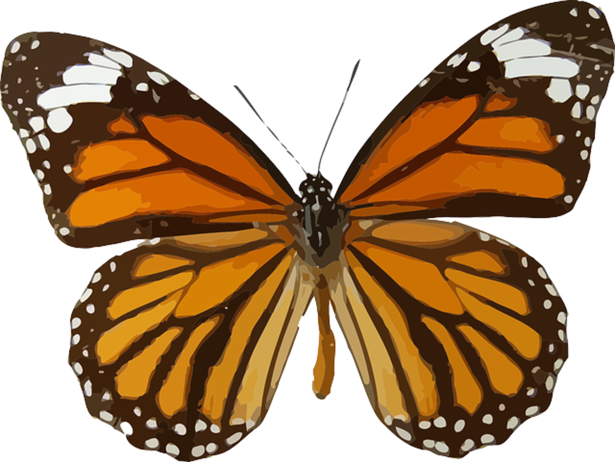 Monarch Butterfly with Wings Spread