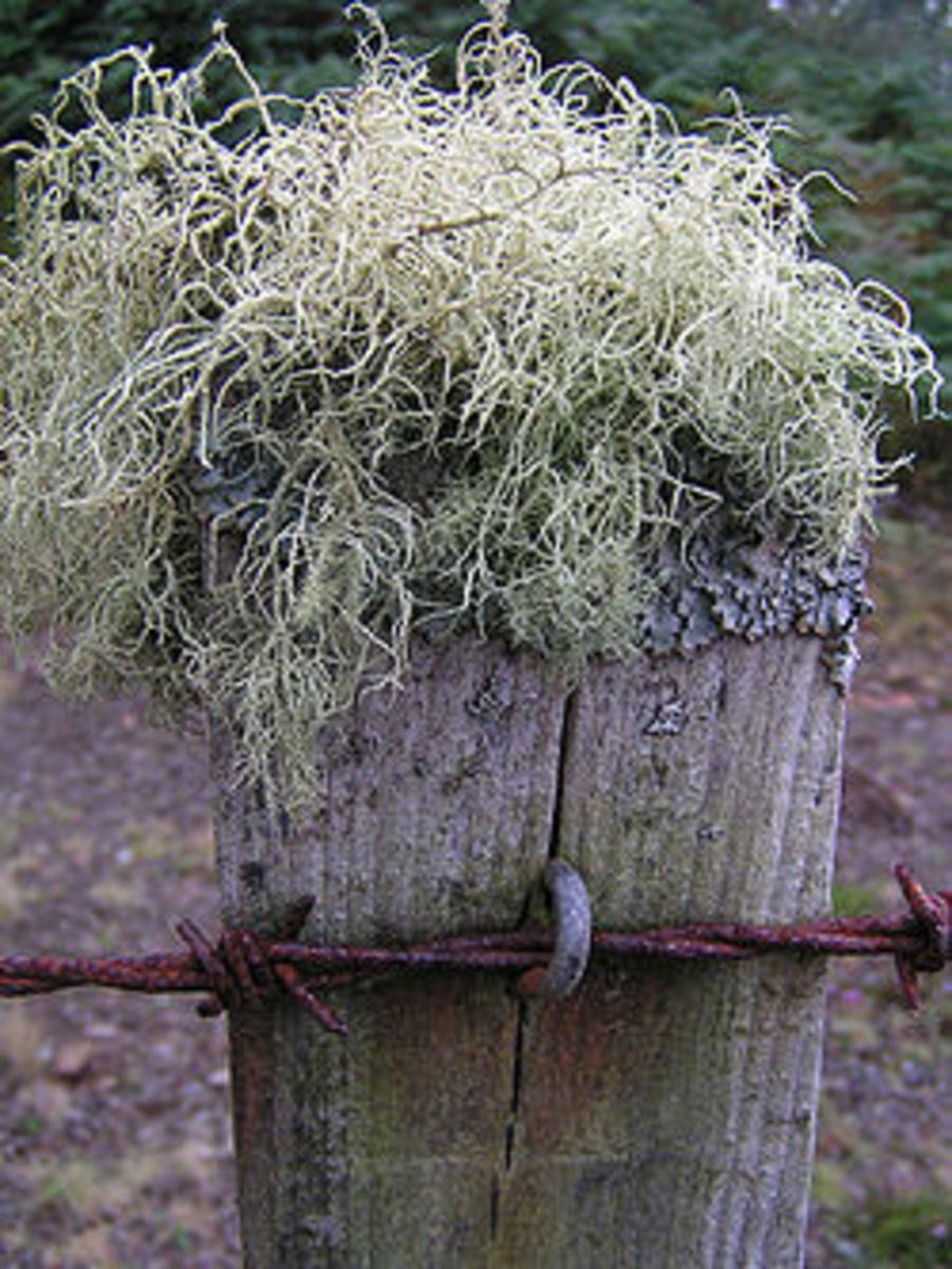 Dye Plants II: The Atlantic Purple Wonder Archil lichen Roccella tinctoria