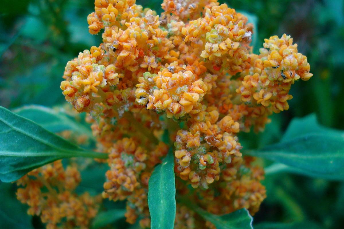 Quinoa flowering stage