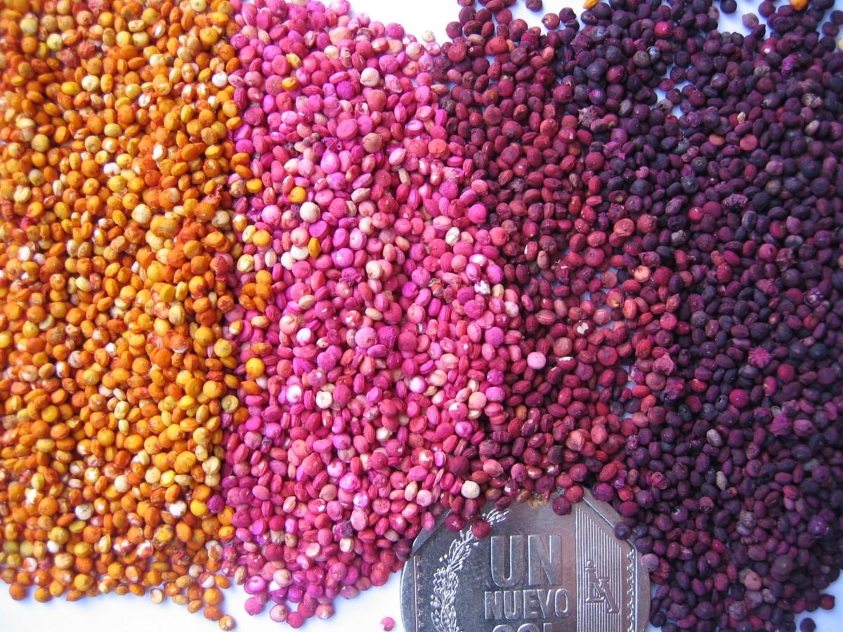 Grain color variation in Quinoa, INIA Genebank, Peru