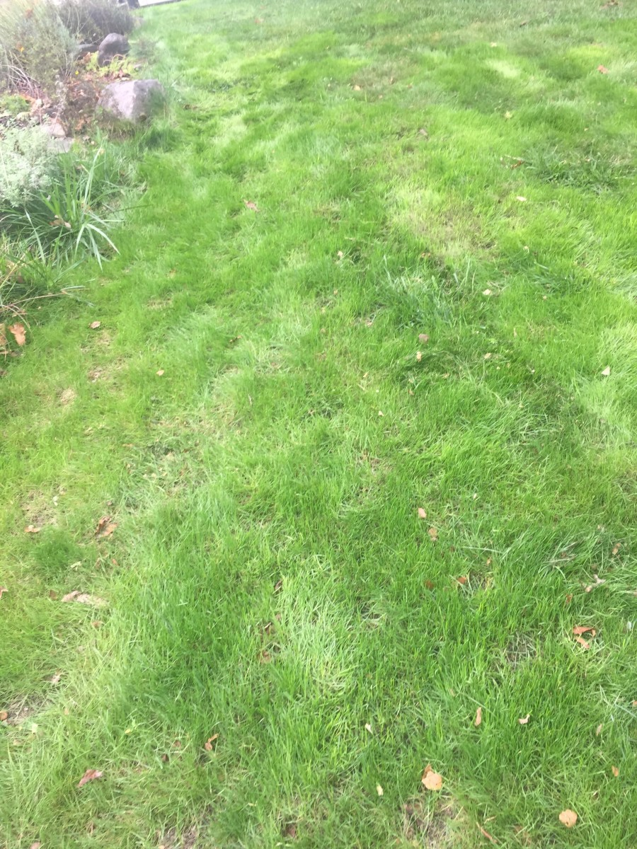 The same newly grown grass as above after it was mowed.